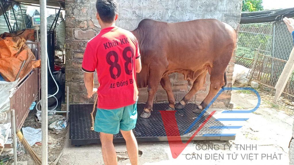 Cân bò 2 tấn